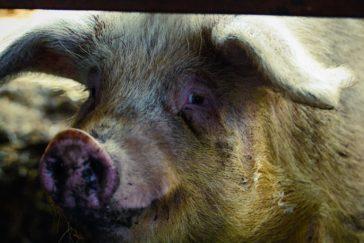 Pigs Ear - Joose Digital Photography